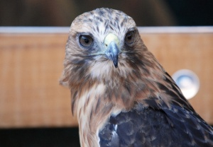 Portland Zoo's Red-Tailed Hawk
