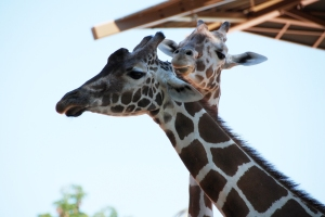 Giraffe Curiosity