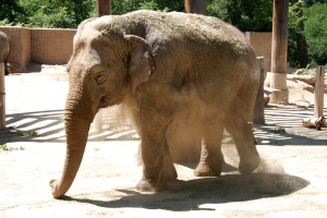 Summer Dusting: Elephant Throws Dust on its Back