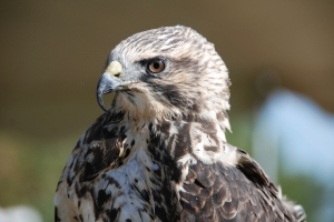 Portrait of a Swainson's Hawk
