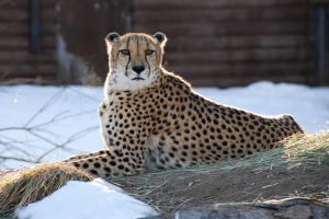 cheetah looking at the photographer