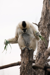 A female black crested gibbon is balancing on a post