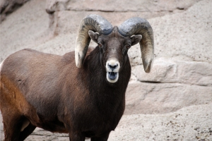 A bighorn ram bleats as he looks at the camera