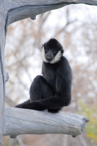A male black crested gibbon looks at the camera from a tree branch