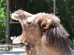 Camel Yawn