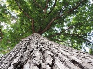Looking up at a tall tree