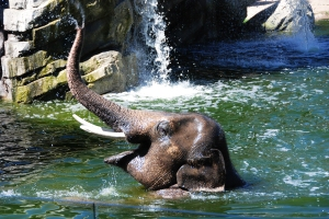 a six-year old elephant swimming in a moat and opening its mouth to catch apple slices