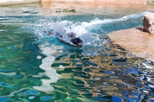 a sea lion zooming on top of the water